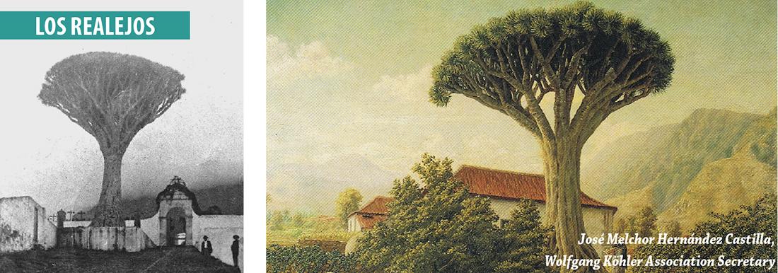 Drago de Los Realejos, Tenerife, norte, revista de ocio, turismo, Canarias, vive el norte
